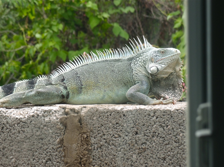 An iguana outside my window