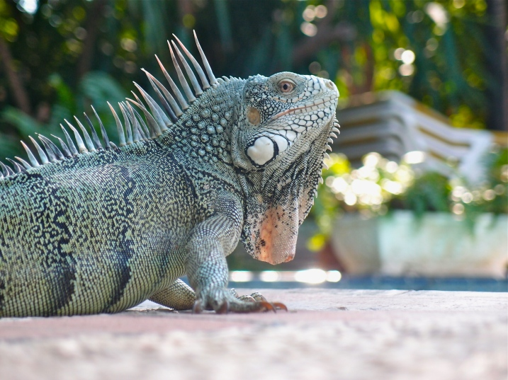 This iguana found its way poolside.
